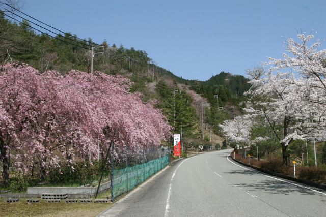 生野銀山「しだれ桜」が満開