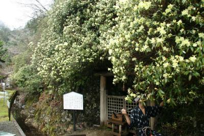 生野銀山「ひかげつつじ」の開花状況のご案内