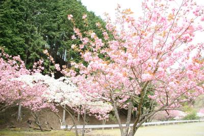 生野銀山の「八重桜」が満開