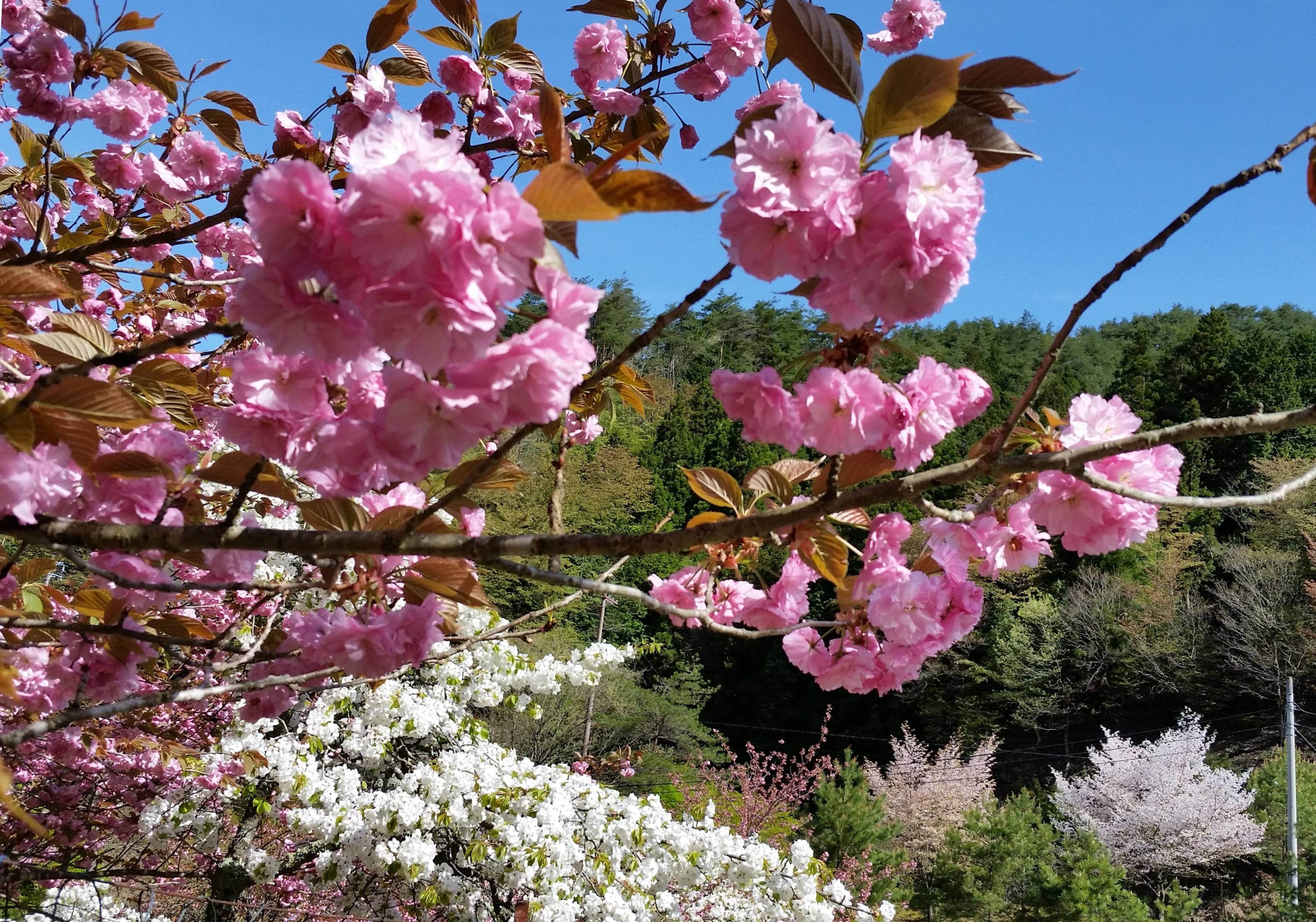八重桜満開のお知らせ