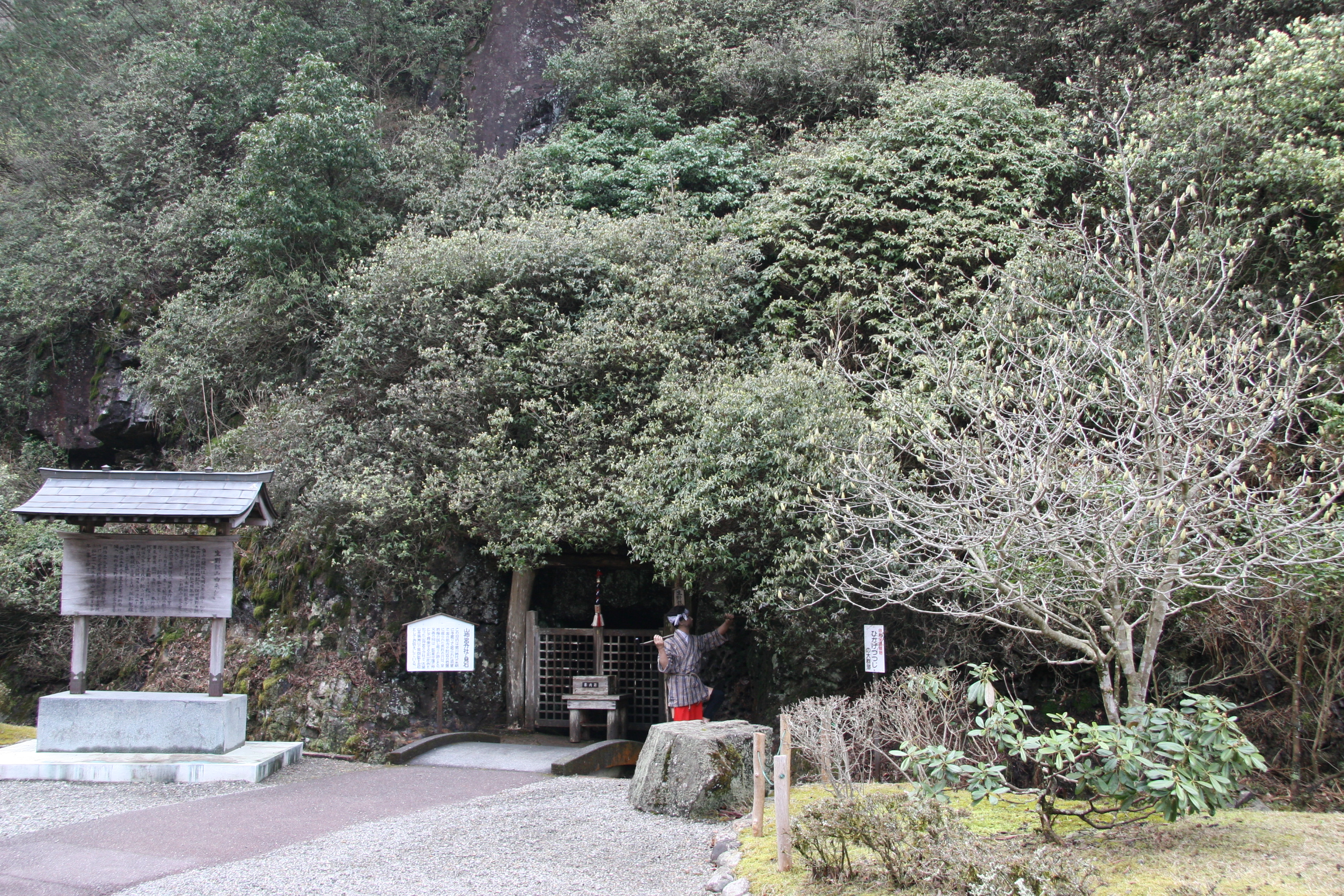 生野銀山に群落する「ひかげつつじ」が朝来市指定文化財に指定